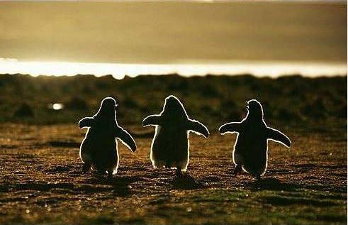 ciao-pingouin