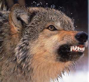 peur-du-loup