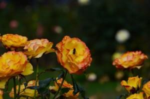 belfast-botanic-garden-6