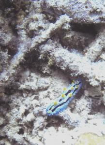 Nudibranche Philippines