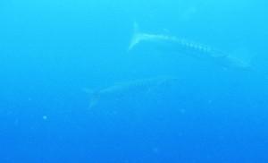 Barracudas de loin