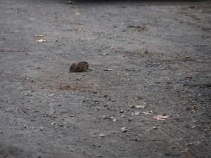 central-park-rat