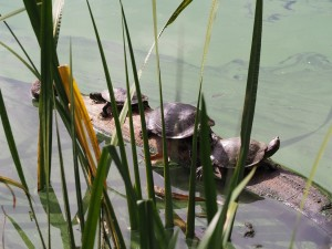 central-park-tortues2