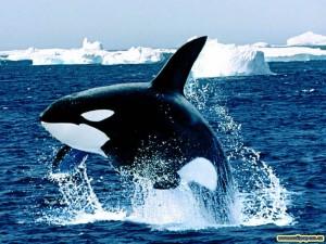Le saviez-vous ? Contrairement aux orques en captivité, les orques ont un aileron tout à fait normal (droit, donc)