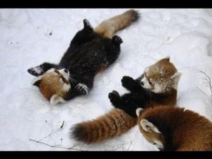 Des pandas roux jouent dans la neige