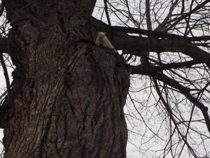 ecureuil-blanc