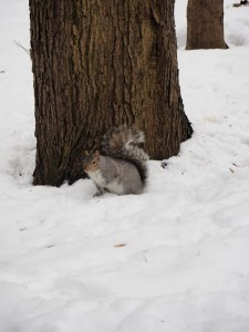 ecureuil-neige-mont-royal