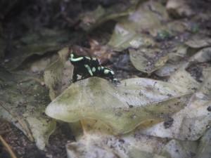 grenouille-veneneuse