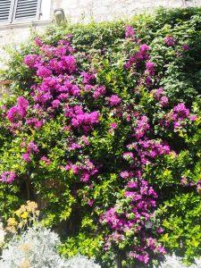 bougainvillier_trsteno_croatie_arboretum