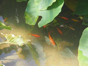 poissons_nympheum-arboretum-trsteno