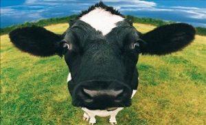 vache-a-lait-2