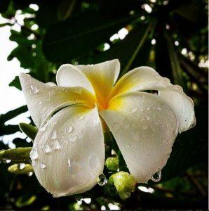 Fleur de tiaré après la pluie aux Philippines