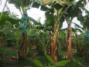 bananeraie-guadeloupe