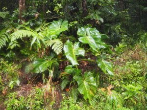 soufriere_guadeloupe_jungle_2