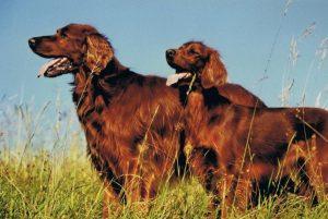 setter irlandais race de chien