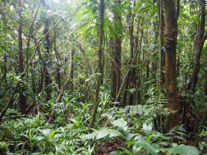 forêt sur le versant de la Soufrière Guadeloupe