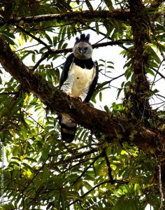 Photo d'une harpie féroce de Guyane par Maxime Dechelle