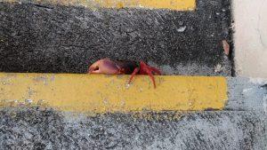 Crabe rouge de Cuba