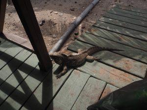 Un iguane à Cuba