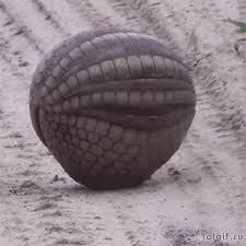Le pangolin en boule